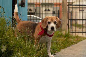Boby Beagle