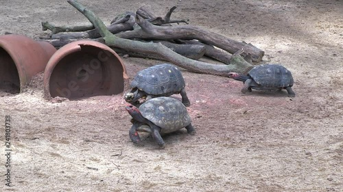 Group of Red-footed tortoise walk in an enclosure scene  The