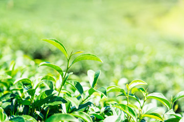 Closeup green tea leaves in tea plantation background.