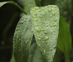 Drops of water on green leaves after the rain stops.Select the focus point.