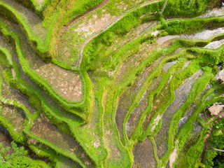 Oblique view of Wet Green Rice Paddy Fields at Tegalalang, Bali