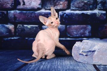 Kitten Don Sphynx