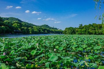 Landscape of West Lake with  lotus leaves, and Baochu Pagoda on top of Baoshi Hill, in Hangzhou, China