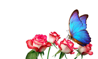 Morpho butterfly sitting on a rose isolated on white. pink roses and a bright blue butterfly close up. decor for greeting card. copy spaces.
