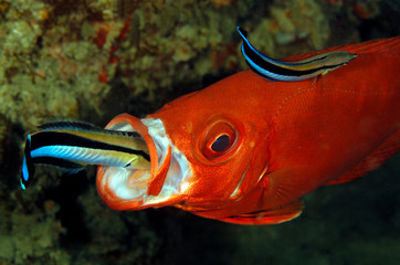Two Cleaner Wrasses on a Lunar-tailed Bigeye, one inside the Mouth. Tofo, Mozambique