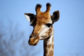 Close-up of a South African Giraffe (Giraffa camelopardalis giraffa). Modlito Game Reserve, Kruger Park, South Africa