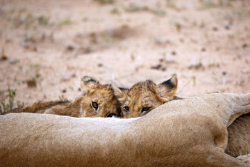 Two Lion Cubs Feeding, one Looking up into the Camera. Balule Nature Reserve, Kruger Park, South Africa