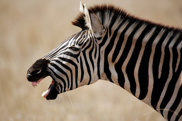 Close-up of a Burchell's Zebra (Equus burchelli) Yawning, in Profile. Satara, Kruger Park, South Africa