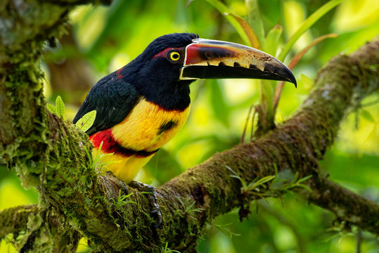Collared Aracari - Pteroglossus torquatus is toucan, a near-passerine bird. It breeds from southern Mexico to Panama, Ecuador, Colombia, Venezuela and Costa Rica