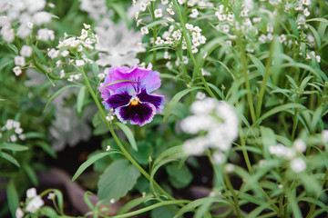 Natural summer background. Pansy Flowers. Macro images of flower faces. Pansies in the garden