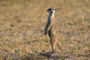 Meerkat - Stokstaartje - Suricata suricatta - Botswana