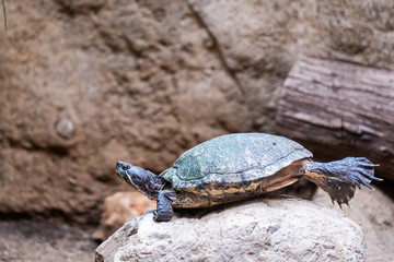 Petite tortue