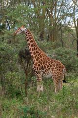 Giraffe in Lake Nakuru National Park, Kenya