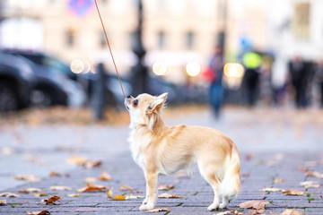 Beautiful cream chihuahua walks in big city