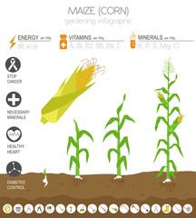 Maize corn beneficial features graphic template. Gardening, farming infographic, how it grows. Flat style design