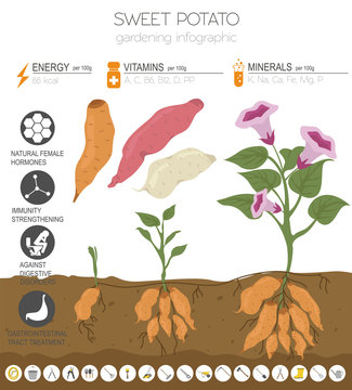 Sweet potato beneficial features graphic template. Gardening, farming infographic, how it grows. Flat style design