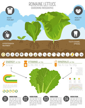 Romanie lettuce beneficial features graphic template. Gardening, farming infographic, how it grows. Flat style design