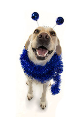 FUNNY DOG PARTY. BIRTHDAY OR NEW YEAR. LABRADOR WITH A HEADBAND O DIADEM WITH BLUE DISCO BALL BOPPERS LIKE A ALIEN AND A TINSEL GARLAND.ISOLATED SHOT AGAINST WHITE BACKGROUND.