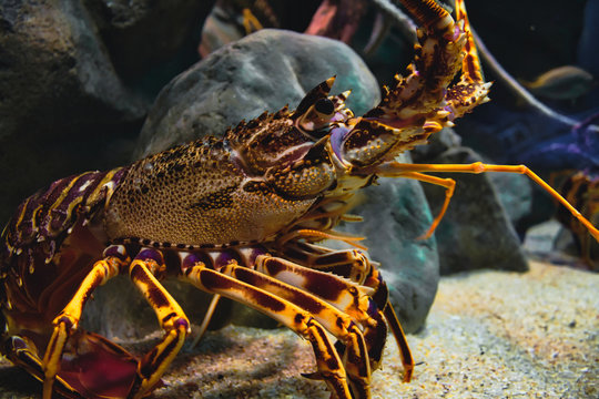 Closeup portrait of a European spiny lobster in a tank in an aquarium