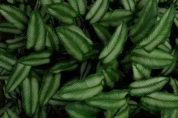 Tropical green Pin Stripe Calathea leaves ornamental plants nature dark background