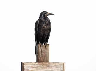 Raven sit on wooden cross isolated on white, profile face