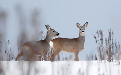 Roe deer stand in a field near the village of Karpavichy