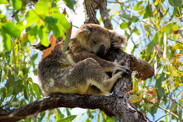 Canvas Prints Sleeping Australian koala high up in a tree during spring time as spotted during a hike on Magnetic Island (Townsville, Queensland, Australia)