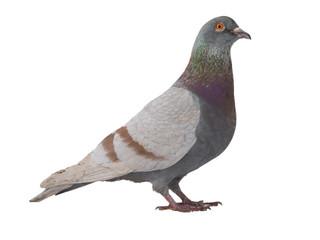 gray dove isolated