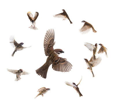 collage sparrows flies isolated