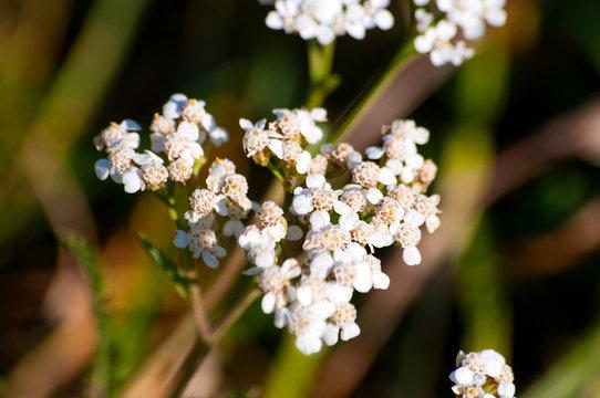 Plant, hemlock flowers. Medicine, herbal therapy, traditional medicine