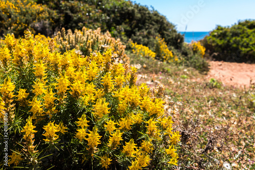 Wild Yellow Flowers Bush On A Bright Sunny Day Green Bushes And