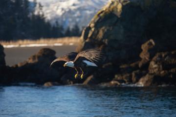 Bald Eagle in Homer Alaska, USA