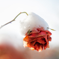 Red rose with snow in winter
