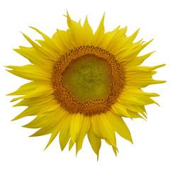 Sunflower flower on isolated background.
