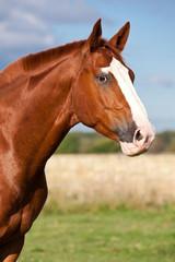 Portrait of nice sorrel horse