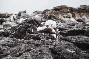 Brown footed boobies (wild birds) on Espanola island in the Galapagos, Ecuador