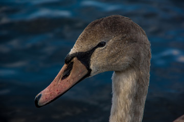 Close up side view of duck head. Lake water in the background..Animals in the United Kingdom.