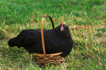 A Black Hen sits in a wicker Easter basket on green grass