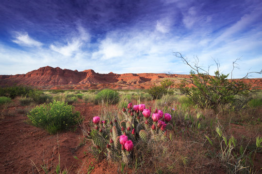 Prickly pear cactus blooms in the desert of southern Utah near St George