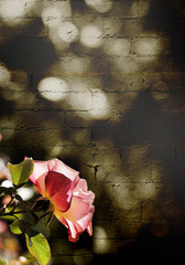 A vertical presentation of a rose highlighted by sunlight on a dark sepia brick background.