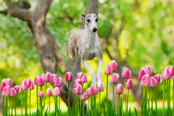 graceful whippet dog jumps over flowers