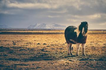 Cute Icelandic Horses