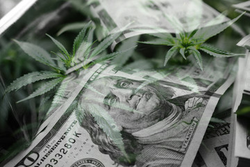 Money In Black & White With Marijuana Leaves Representing A Cash Crop High Quality