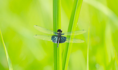 close-up dragonfly on grass leaf, macro dragonfly on green grass, macro of insect