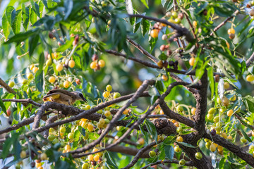 Bird (Yellow-vented Bulbul) on tree in nature wild