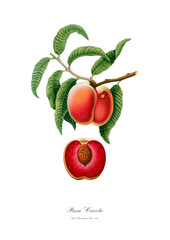 Ripe red peach watercolour art poster