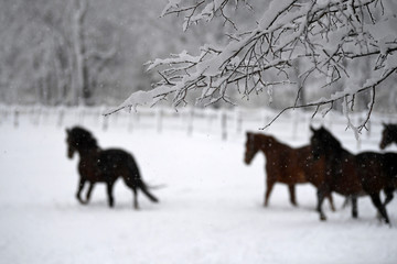 Horses run across a meadow covered with snow, in Hohenleiten