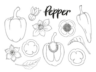 Set of hand-drawn black and white peppers. monochrome. Isolated image. Vector illustration.