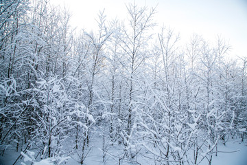 winter snowy forest. on the branches snow drifts.