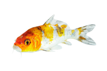Image of colorful koi fish on white background . Animal. Pet.